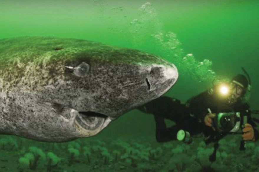 Vive en Groenlandia: un tiburón nacido en 1505 es el animal más viejo del mundo
