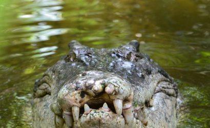 Un militar pelea contra un gran cocodrilo en Australia para evitar que se coma a su compañero GRAVES LESIONES